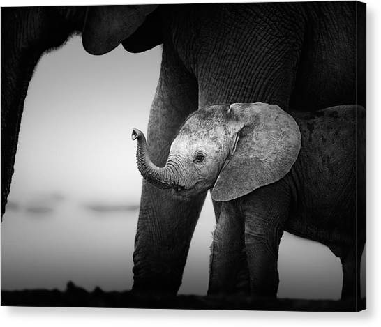 Large Mammals Canvas Print - Baby Elephant Next To Cow  by Johan Swanepoel