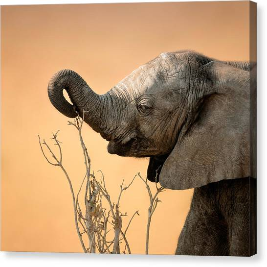 Reach Canvas Print - Baby Elephant Reaching For Branch by Johan Swanepoel