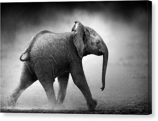 Small Mammals Canvas Print - Baby Elephant Running by Johan Swanepoel
