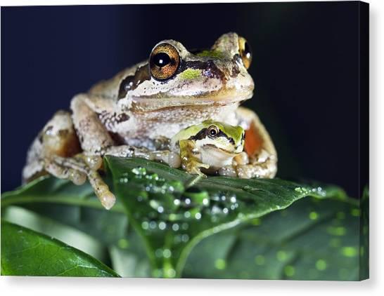 Baby Frog And Mama Frog Canvas Print