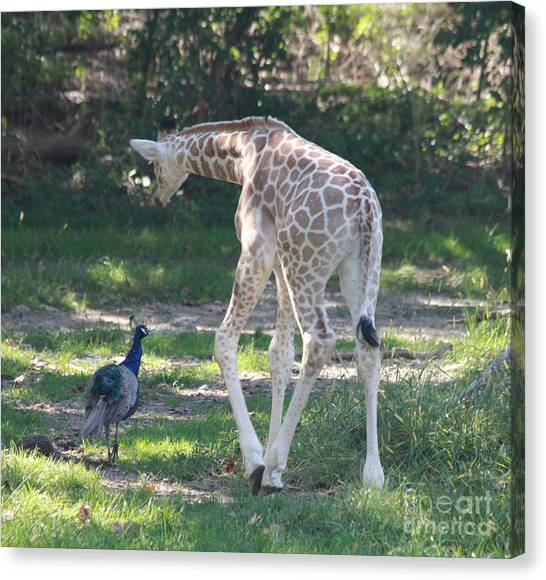 Baby Giraffe And Peacock Out For A Walk Canvas Print
