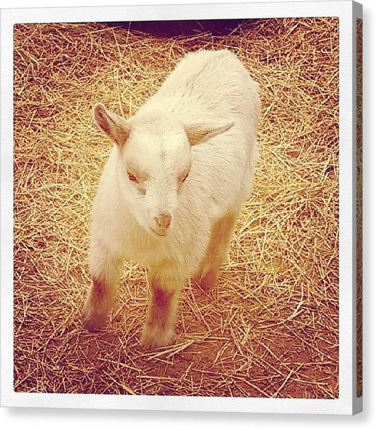Innocent Canvas Print - Baby Goat by Angie Jones