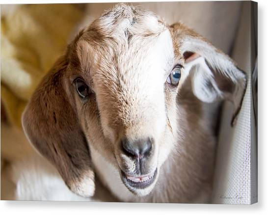 Baby Goat Face Canvas Print