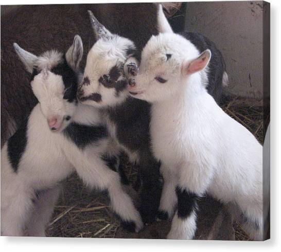 Baby Goats 1742 Canvas Print by Carol Hoffman