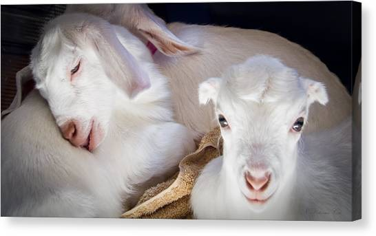 Baby Goats Napping Canvas Print