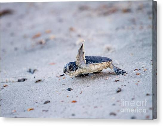Fernandina Beach Canvas Print - Baby Green Sea Turtle  by Dawna Moore Photography