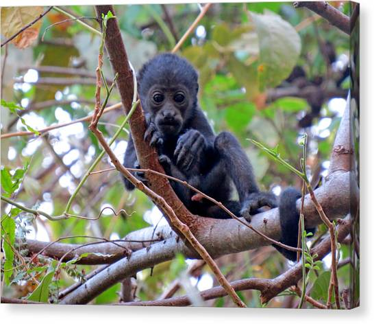 Baby Howler Monkey  Canvas Print by Melanie Beckler