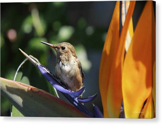 Baby Hummingbird On Flower Canvas Print