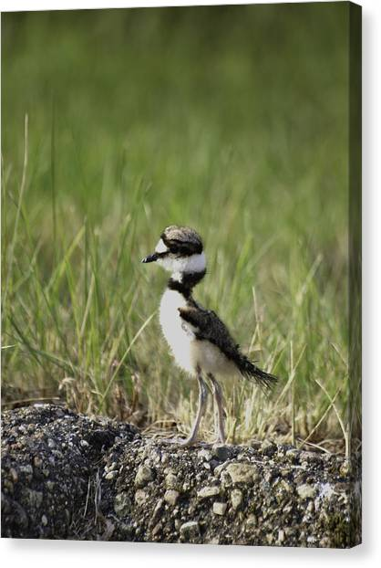 Killdeer Canvas Print - Baby Killdeer 2 by Thomas Young