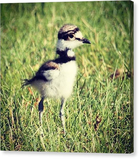 Killdeer Canvas Print - Baby Killdeer #bird #longisland by Lisa Thomas