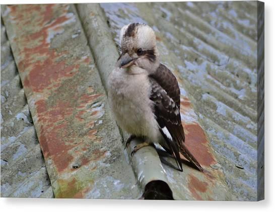 Kingfisher Canvas Print - Baby Kookaburra by Jeb Grimes