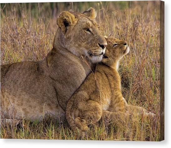 Baby Lion With Mother Canvas Print by Henry Jager