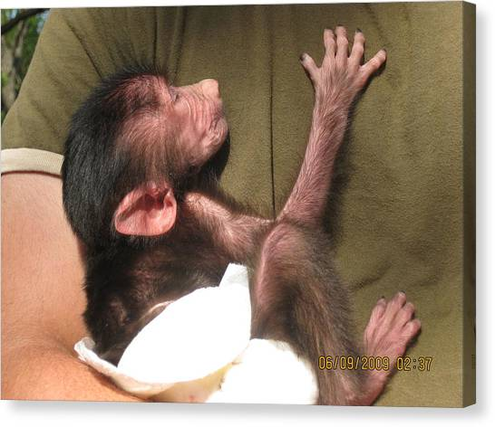 Baby Monkey Canvas Print by Dick Willis