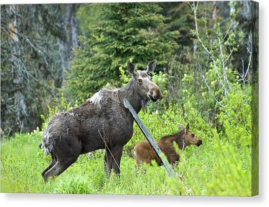 Baby Moose - Mom Canvas Print