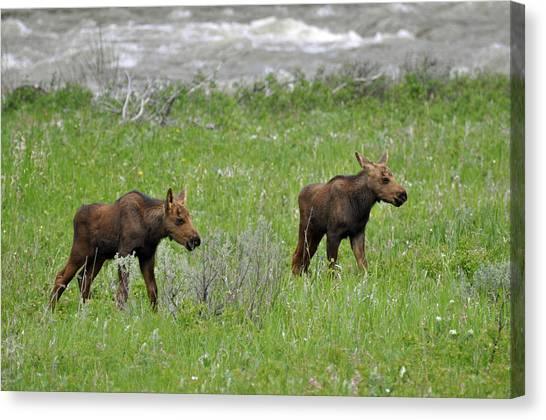 Baby Moose On The Banks Of The Gallatin Canvas Print