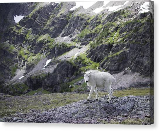 Baby Mountain Goat At Comeau Pass Canvas Print