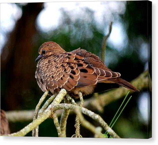 Baby Mourning Dove Canvas Print