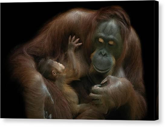 Apes Canvas Print - Baby Orangutan & Mother by David Williams