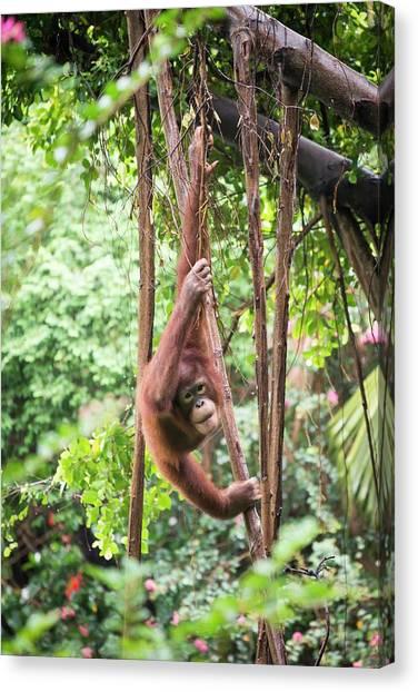 Baby Orangutan Canvas Print by Pan Xunbin