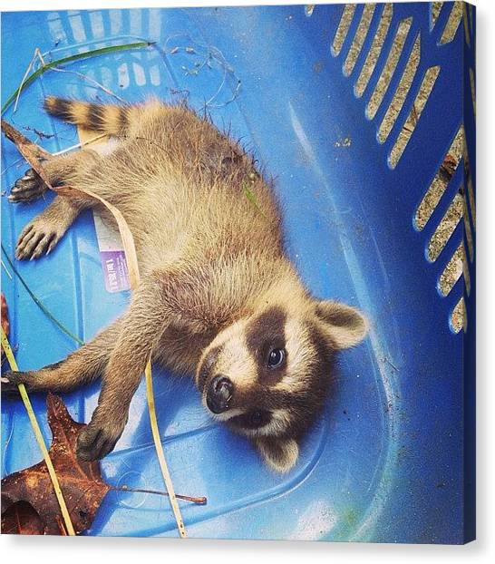 Raccoons Canvas Print - Baby #raccoon We Tried To Save by Brian Smith