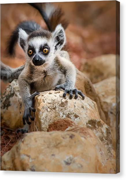 Baby Ringtail Lemur Canvas Print