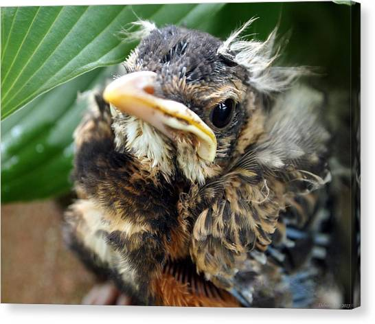 Baby Robin Among The Hosta's Canvas Print