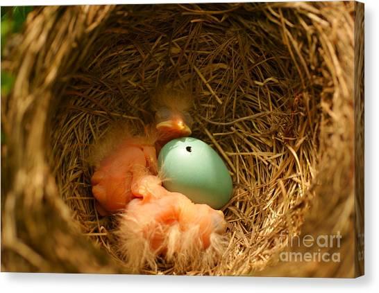 Baby Robins2 Canvas Print