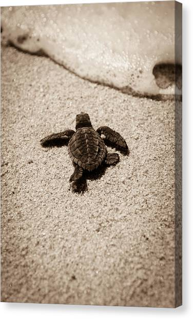 Turtles Canvas Print - Baby Sea Turtle by Sebastian Musial