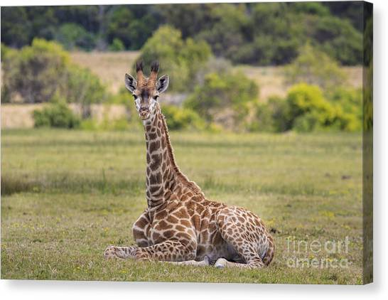 Baby Series Giraffe Canvas Print