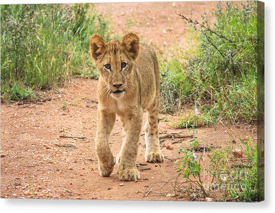 Baby Series Lion Canvas Print