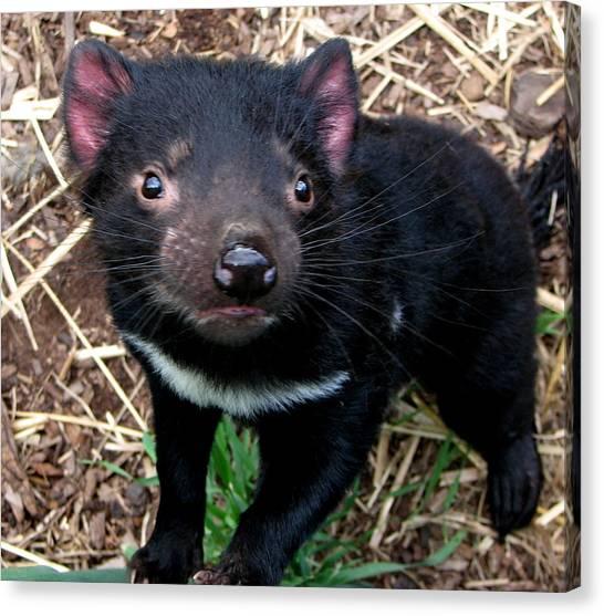 Baby Tasmanian Devil Canvas Print by Alexey Dubrovin