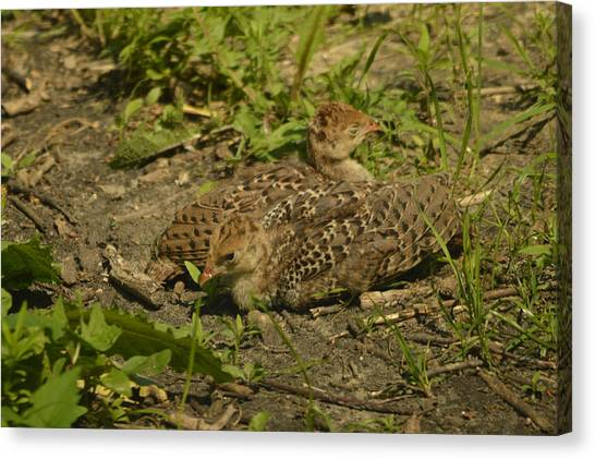 Baby Turkeys Canvas Print