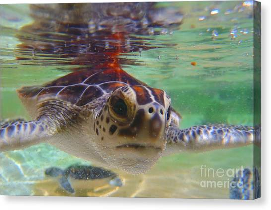 Shrimp Boats Canvas Print - Baby Turtle by Carey Chen