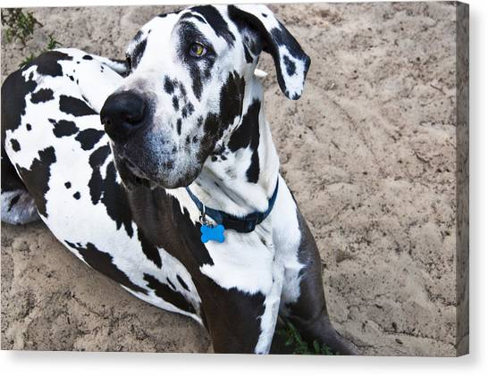 Great Danes Canvas Print - Bacchus The Great Dane by Sharon Cummings