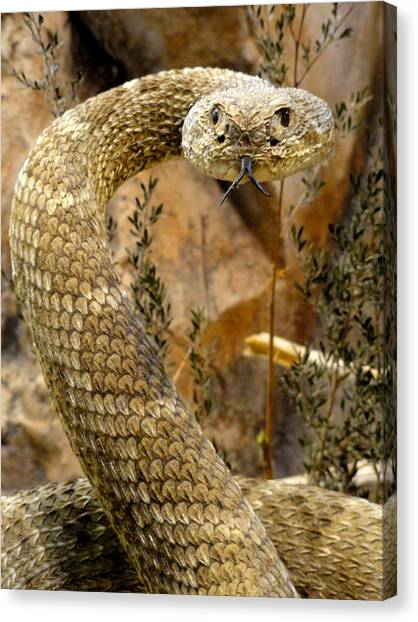 Timber Rattlesnakes Canvas Print - Back Off by Mary Beth Landis