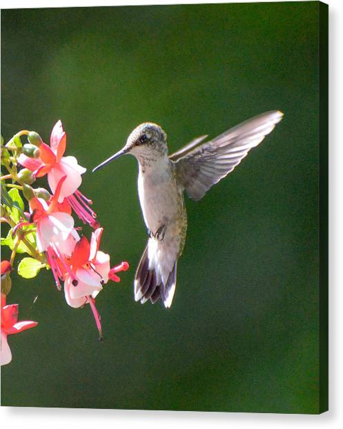 Backlit Fuchsia And Hummer Canvas Print