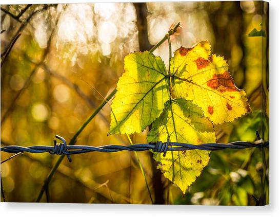 Canvas Print featuring the photograph Backlit Leaf. by Gary Gillette