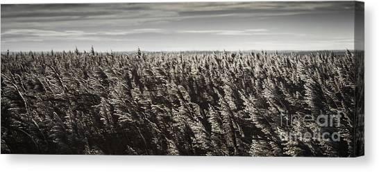 Marsh Grass Canvas Print - Backlit Marsh Grass by Nigel Jones