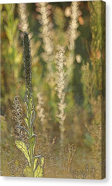 Backlit Mullein In A Meadow Canvas Print