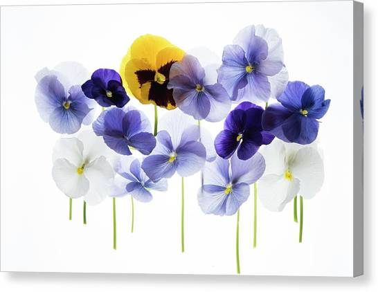 Backlit Pansies Canvas Print by Photostock-israel/science Photo Library