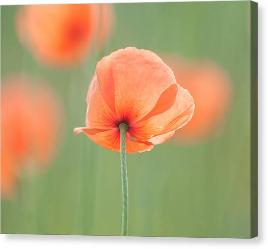 Backlit Poppies Canvas Print