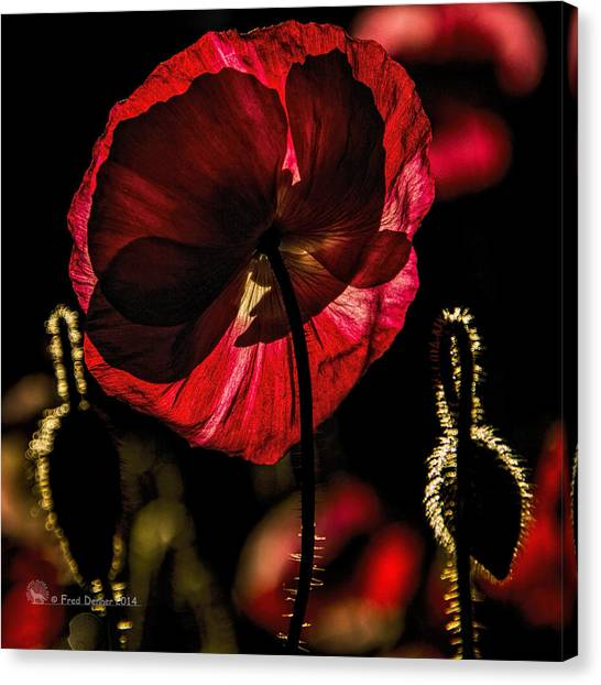 Backlit Poppy Canvas Print