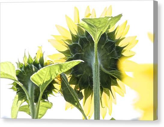 Backside Of Sunflower Canvas Print