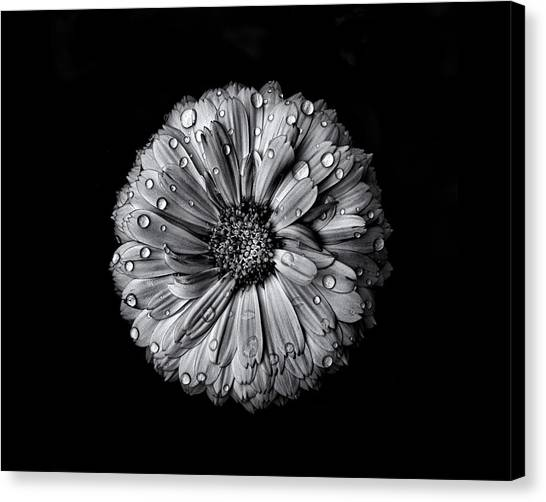 Backyard Flowers In Black And White 10 After The Storm Canvas Print