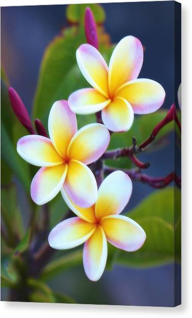 Backyard Plumeria Canvas Print