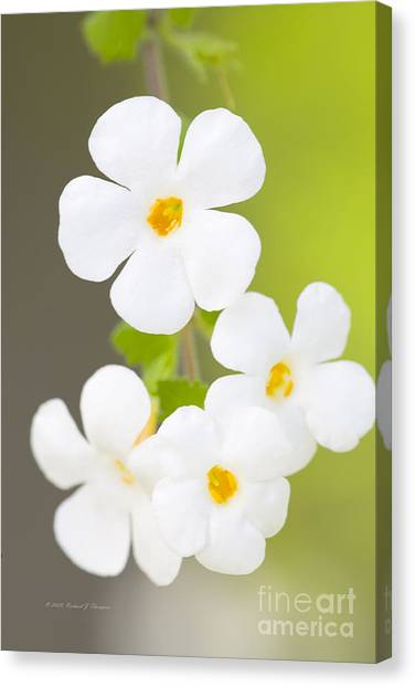 Bacopa 'snowstorm' Canvas Print