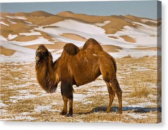 Gobi Desert Canvas Print - Bactrian Camel Grazing Khongor Sand by Colin Monteath