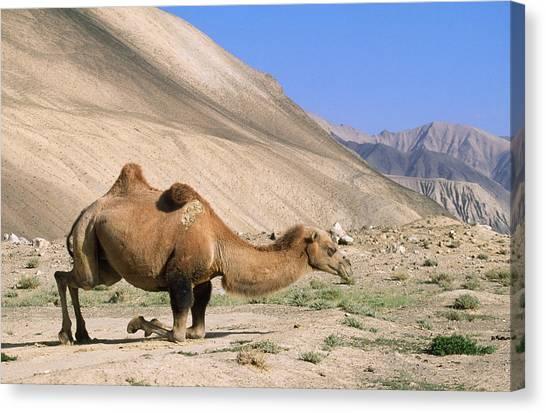Gobi Desert Canvas Print - Bactrian Camel by M. Watson