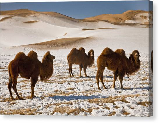 Gobi Desert Canvas Print - Bactrian Camel Trio Khongor Sand Dunes by Colin Monteath