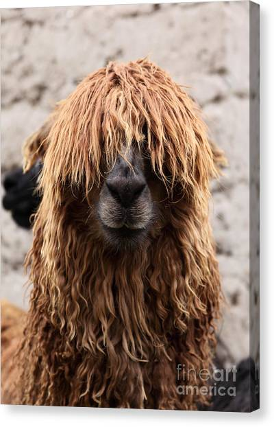 Llama Canvas Print - Bad Hair Day by James Brunker